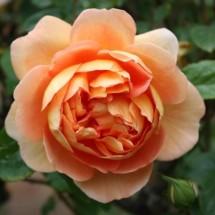 Rosen fürs Freiland